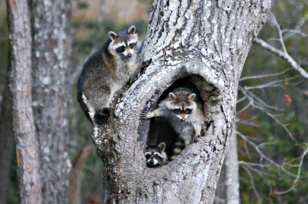 raccoons in kill devil hills SAGA