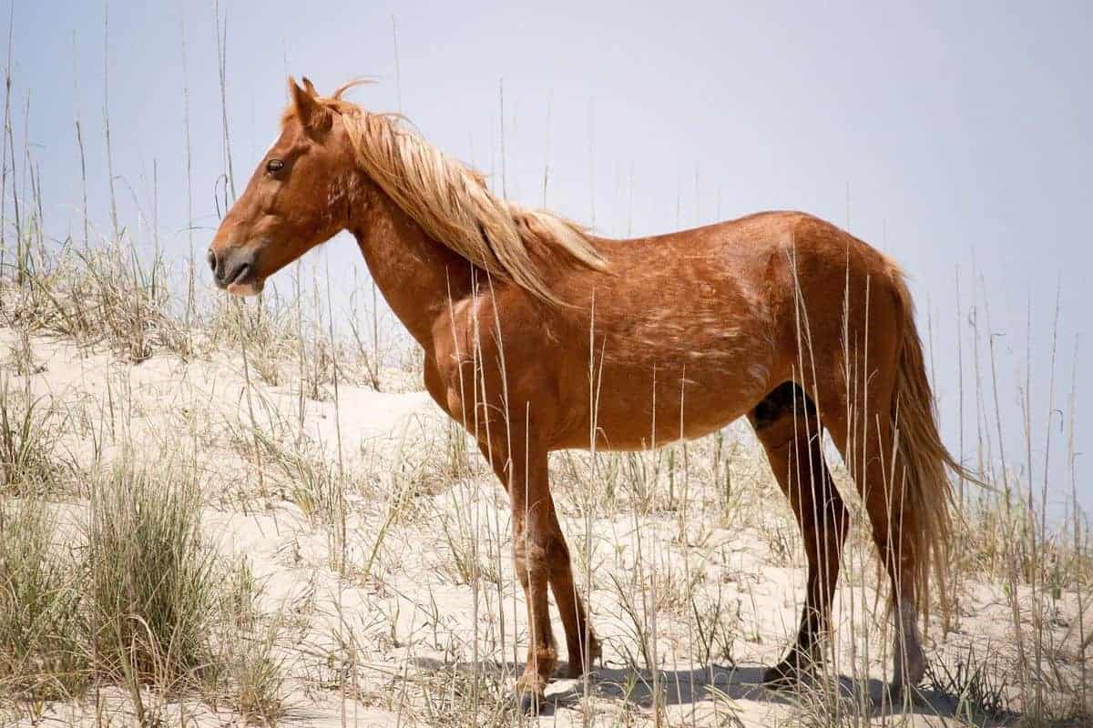 Unique flora and fauna of the Outer Banks includes these wild mustangs in Corolla
